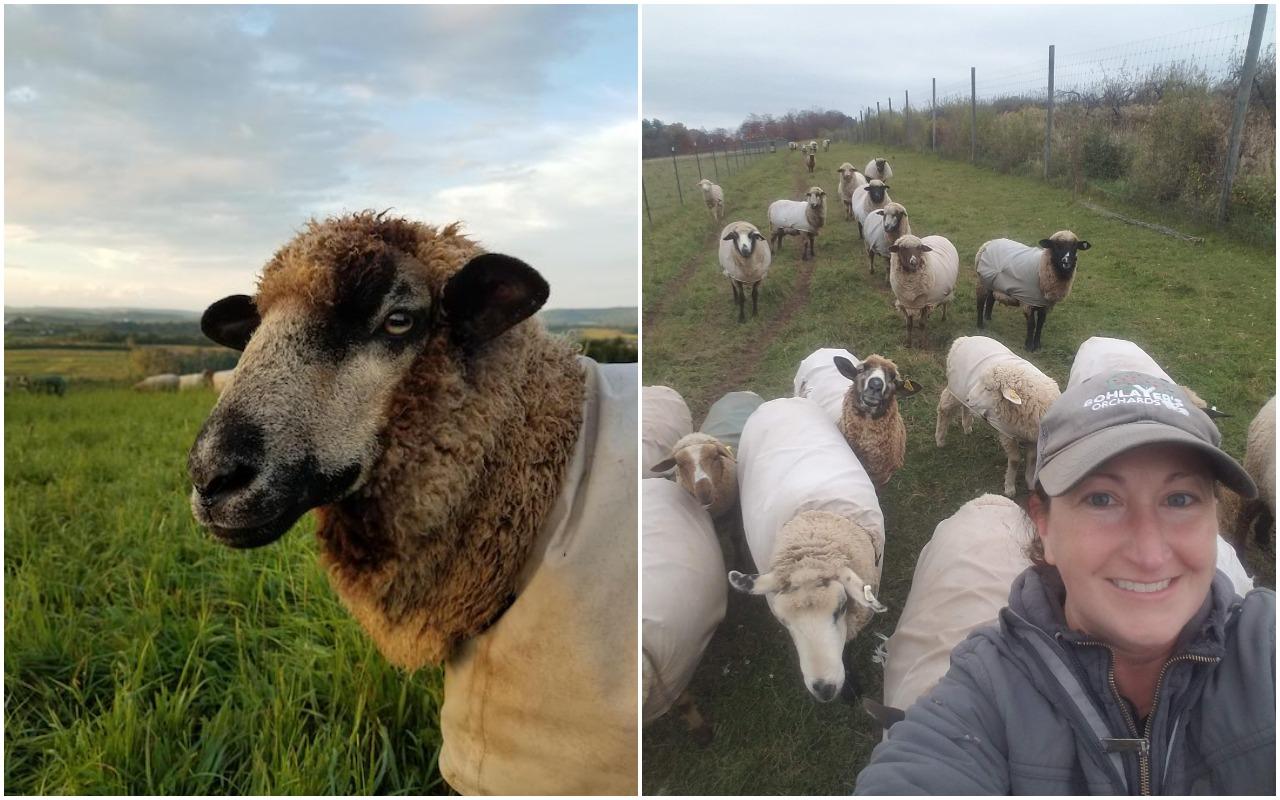 heather with sheep